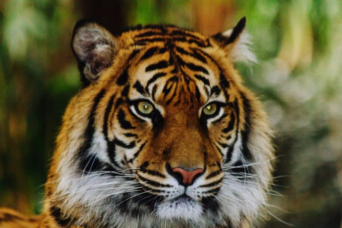 Tiger One Animal Animals In The Wild Animal Themes Focus On Foreground Big Cat Looking At Camera Portrait Animal Wildlife Feline Close-up Animal Markings Carnivora Day Nature No People Mammal Outdoors