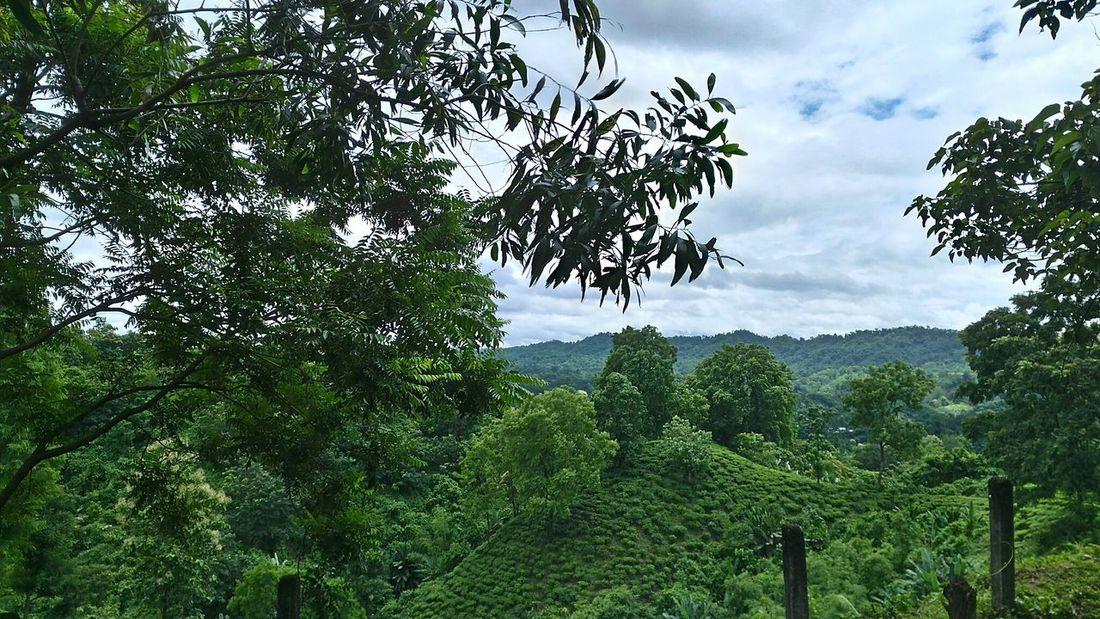 Tree Green Color Tea Garden Home Kailashahar Unakoti Tripura Northeastindia Northeast India Garden Tea Cultivation  Hill The Great Outdoors - 2017 EyeEm Awards
