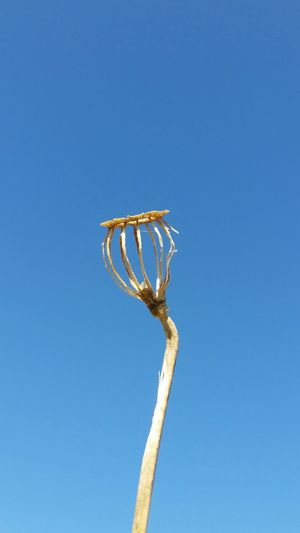 Close-Up Of Dry Bud Against Clear Blue Sky