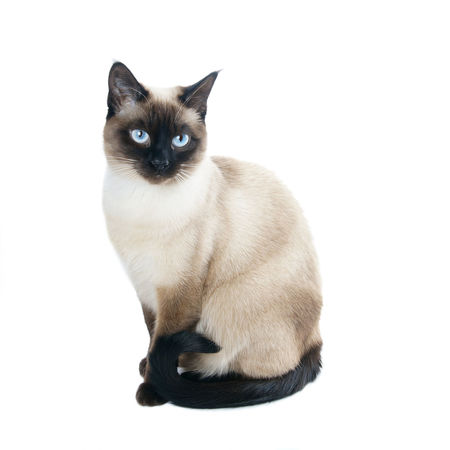 Animal Blue Eyes Breed Cat Cute Domestic Animals Domestic Cat Feline Isolated Kitty One Animal Pet Pets Purebred Seal Point Siamese Cat Sitting Thai Cat White Background