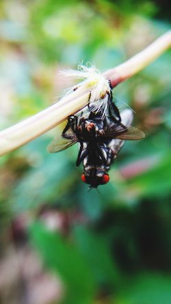Mating Fly EyeEmNewHere Close Up Makro Full Length Insect Close-up Tiny Housefly