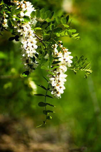 Acacia Beauty In Nature Blooming Blossom Branch Close-up Day Flower Flower Head Fragility Freshness Green Color Growth Nature No People Outdoors Petal Plant Springtime Tree Twig White Color