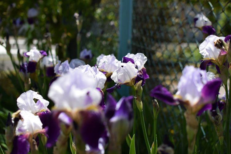 Flower Head Flower Purple Blossom Close-up Plant