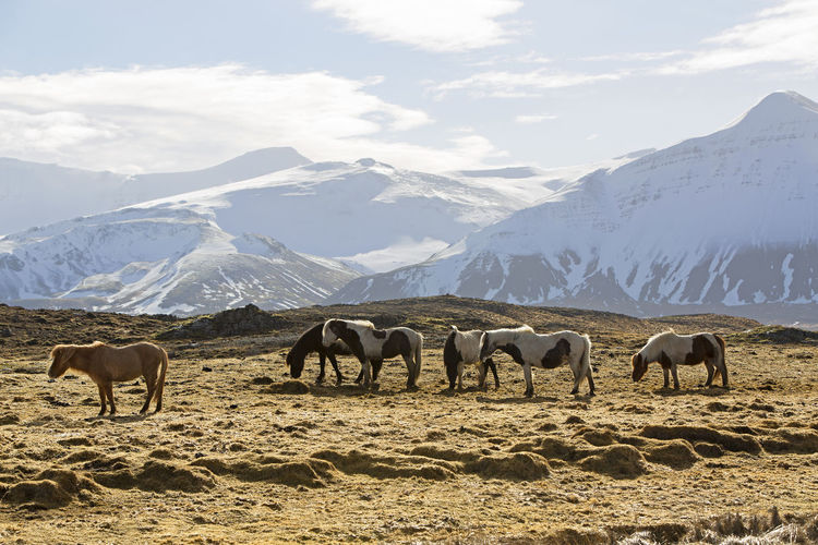 Horses grazing on snow covered mountains against sky