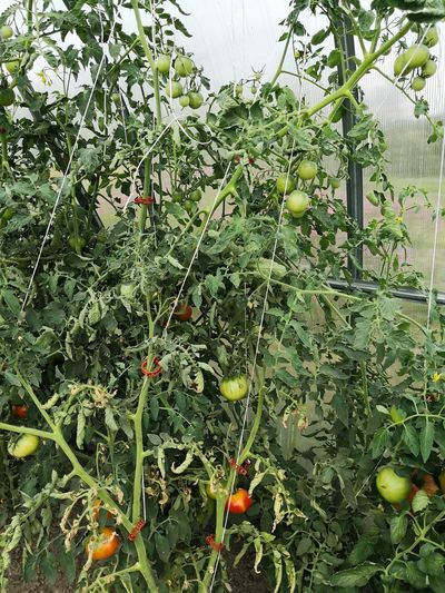 Tomatoes growing in greenhouse Self-sufficiency Tomatoes Tomatoes Growing Greenhouse Hothouse Greenhouse Green House Greenhouse Leaf Fruit Close-up Plant Green Color Branch Plant Life Blossom Growing Unripe Flower Head In Bloom Blooming Botany