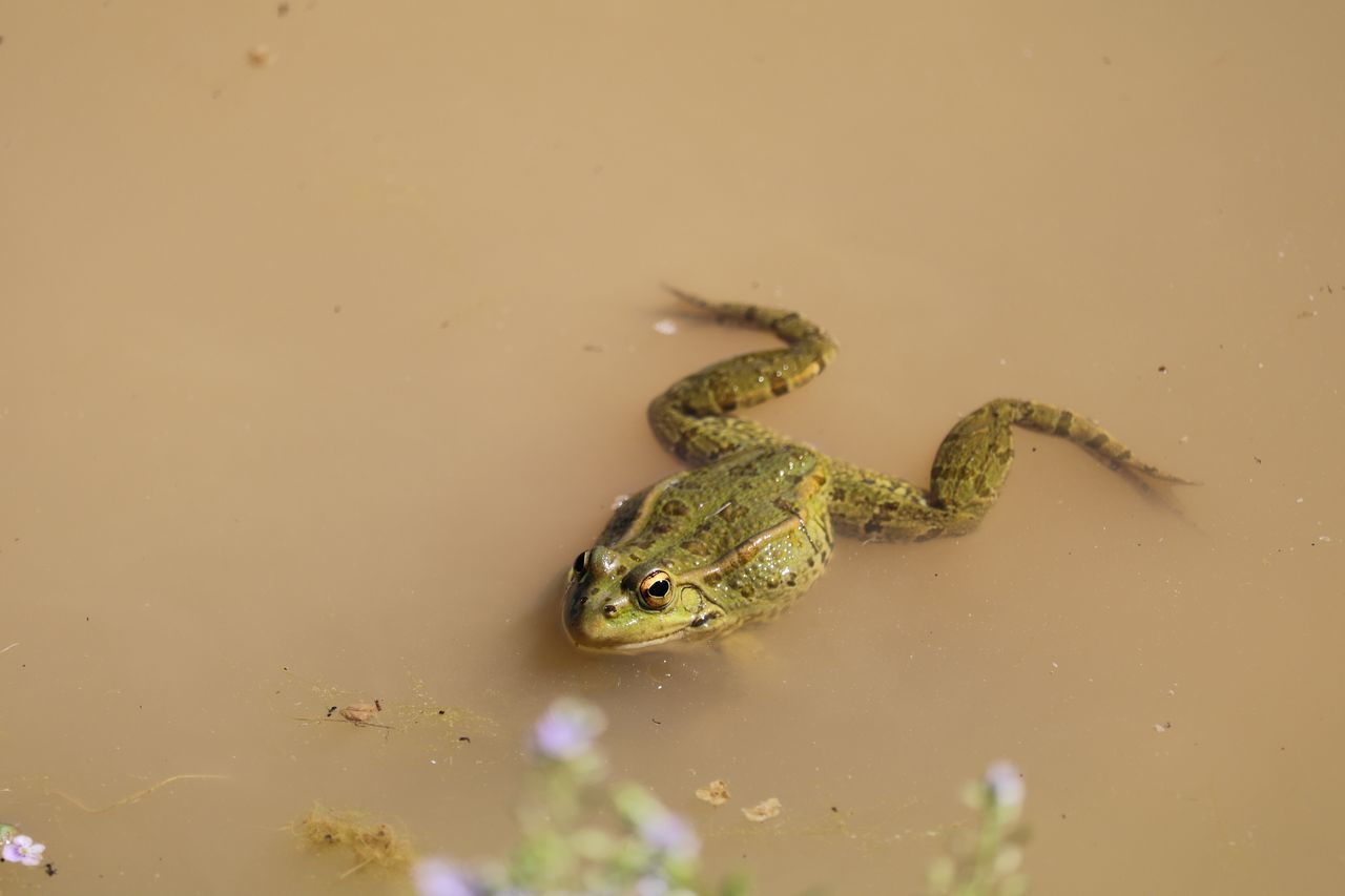 Portrait Of Frog Swimming In Dirty Lake