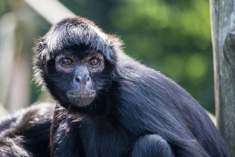 Portrait of black monkey