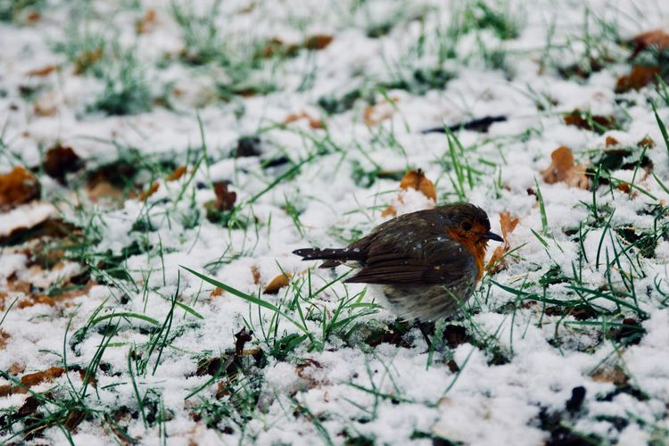 Bird Photography Birds Of EyeEm  Ice London Snowfall 2017 Nature Nature Photography Snow ❄ Wildlife & Nature Wildlife Photography Winter Wintertime Animals In The Wild Bird Birds_collection Cold Cold Temperature Nature_collection Naturelovers Perching Robin Robin Redbreast Snow Songbird  Wild Wildlife