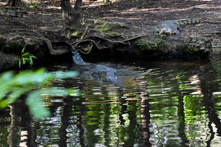 Cue music from a horror movie Reptile Animal Animal Themes Animal Wildlife Animals In The Wild Crocodile Crowd Day Flowing Water Forest Lake Mammal Nature No People One Animal Outdoors Plant Reflection Tranquility Tree Vertebrate Water Waterfront Wildlife