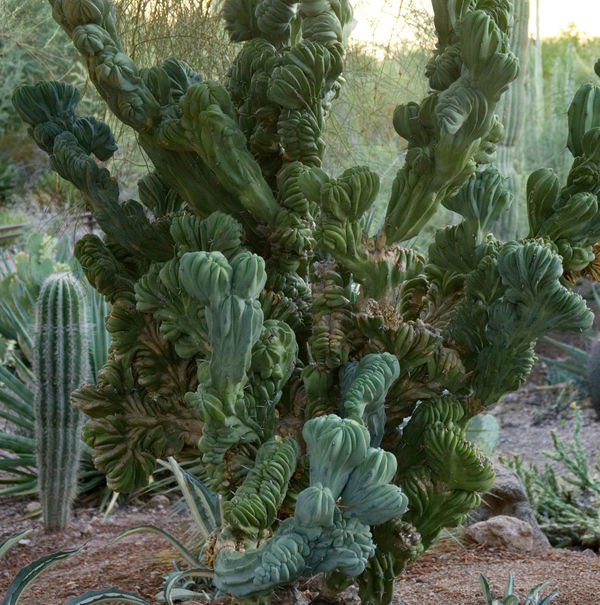 Arizona Cactus Desert Botanical Garden Day Green Color Growth Nature No People Outdoors Plant