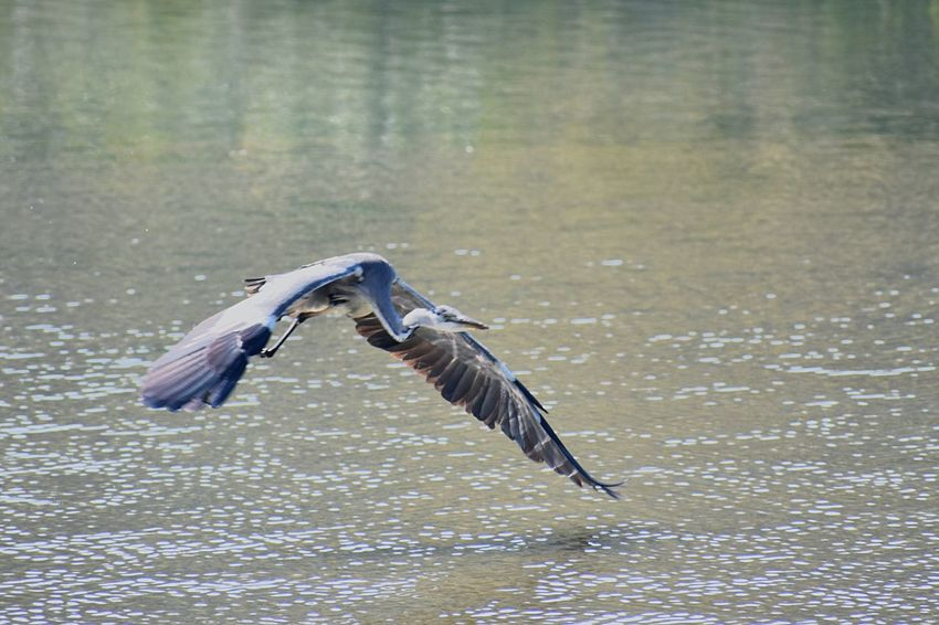 A Flying Heron EyeEm Nature Lover Birds Of EyeEm  EyeEm Best Shots Flying Heron Heron Animal Animals In The Wild Animal Themes Animal Wildlife Flying Bird EyeEmNewHere Vertebrate Spread Wings One Animal Water Nature No People Mid-air Day Bird Of Prey Animal Body Part Outdoors Motion Waterfront