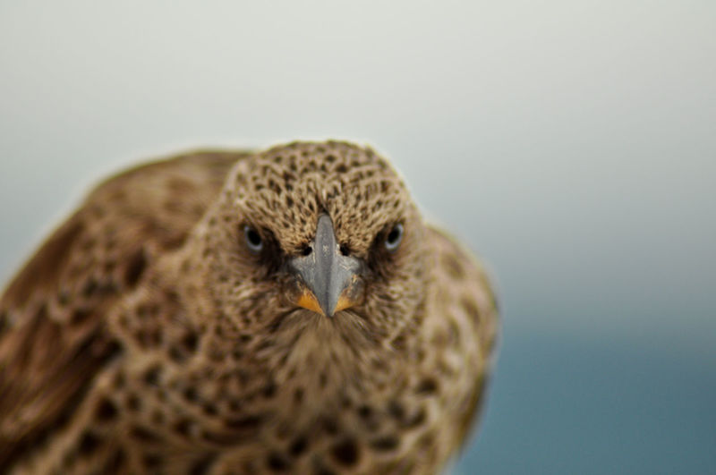 One Animal Bird Animal Wildlife Vertebrate Animals In The Wild Close-up Portrait Looking At Camera Bird Of Prey Studio Shot No People Copy Space Animal Body Part Nature Gray Colored Background Owl Falcon - Bird Animal Eye EyeEmNewHere