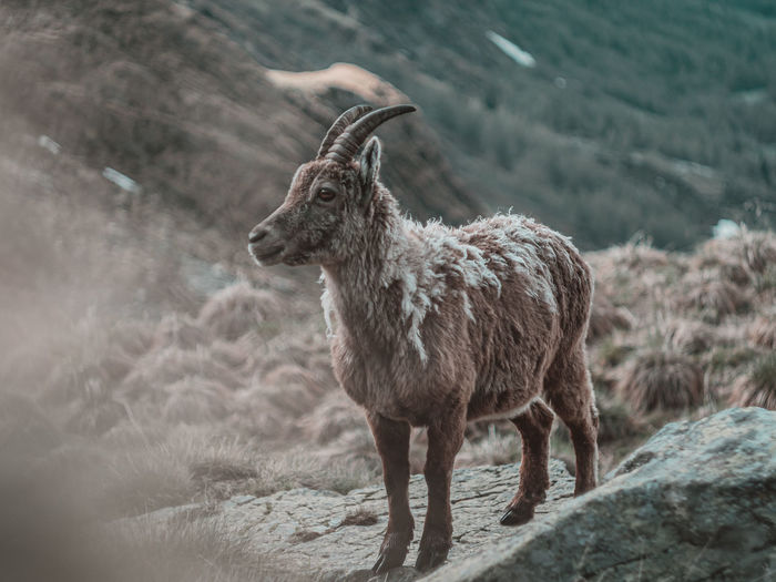 Ibex standing in a field