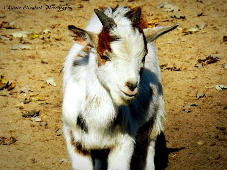 Goat Goat Life Goats Goatlife Billy Goat Billygoat Arena, Wisconsin Spring Green Spring Green, Wisconsin White Furry Friends Farmanimals Farm Animal Farm Animals Wisconsin Animal Animals Animal Photography Animal_collection Animal Love Animal Themes Animallovers Animals Posing Sand Brown