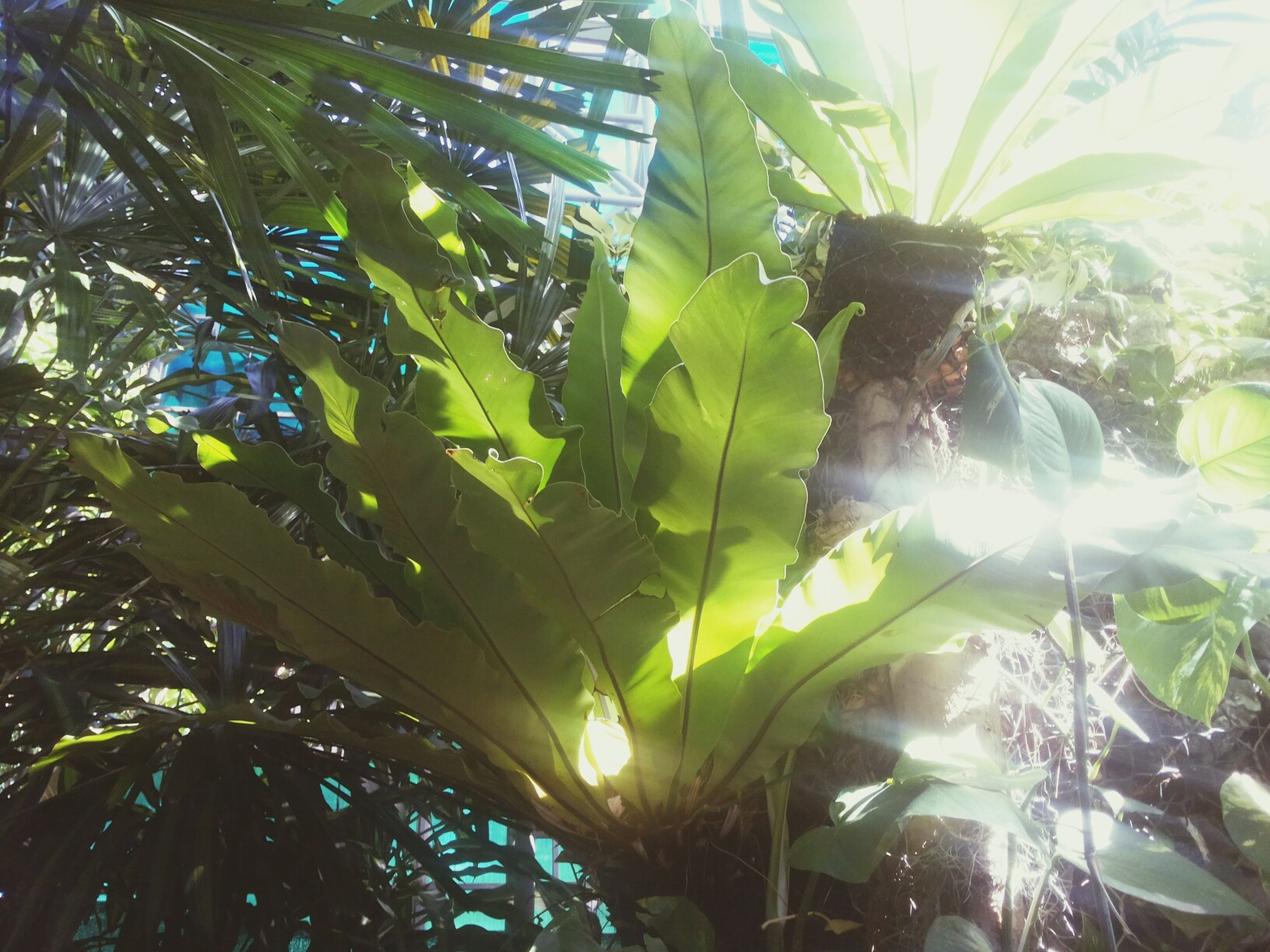 tree, low angle view, growth, leaf, sunlight, nature, branch, sunbeam, green color, sun, tranquility, beauty in nature, lens flare, full frame, day, backgrounds, close-up, plant, outdoors, no people