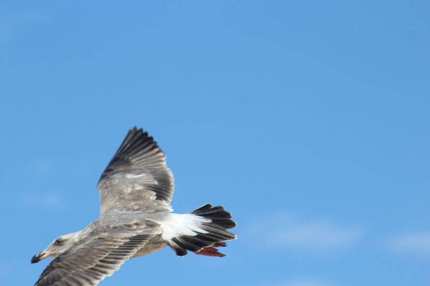 Animal Themes Animals In The Wild Bird Bird Of Prey Clear Sky Day Flying Low Angle View Mid-air Nature No People One Animal Outdoors Sky Spread Wings