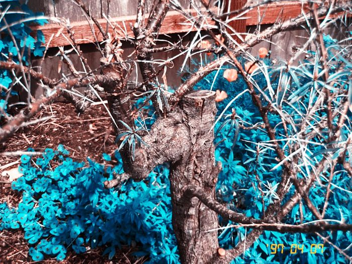 Tree Nature Beauty In Nature Garden Kissimmee Colorshift Hipstamatic Koduckgirl Mygarden IPhoneography Seabuckthorn