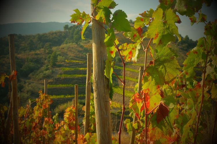 Priorat 's Wine. Wine Tasting Wine Wineyard Winery Wineandmore Nature Landscape Priorat Catalonia Catalunya Catalanculture Catalunyaexperience Igworldclub Ig_worldclub Wineyards Gratallops Enoturismo Tarragona Tarragonaturisme Tarraco  Traveling Home For The Holidays