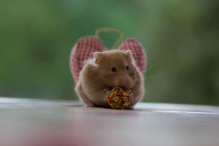 cheeky hamster Alertness Animal Animal Body Part Animal Head  Animal Themes Close-up Curiosity Cute Depth Of Field Domestic Animals Focus On Foreground Hamster Home Indoors  Mammal New Life One Animal Part Of Pets Selective Focus Streamzoofamily Young Animal Zoology