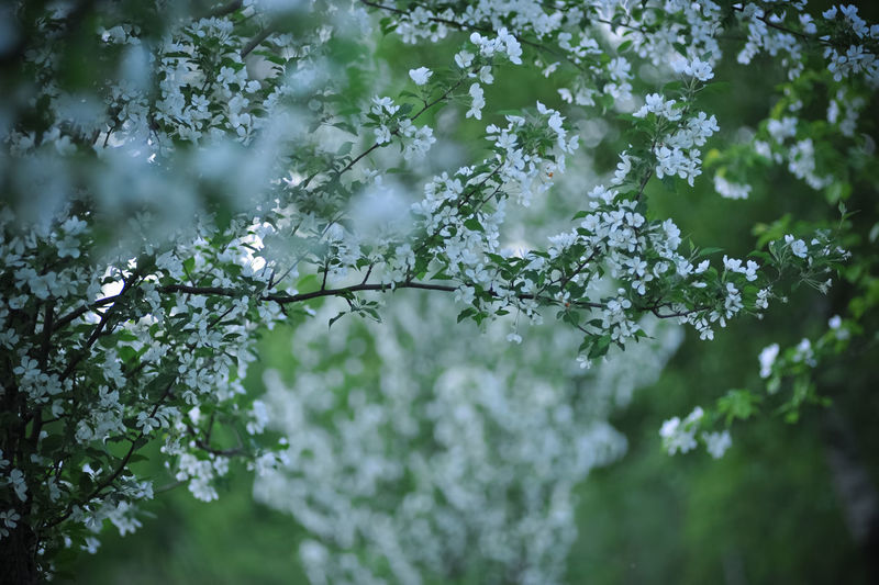 White Flowers Blooming On Apple Tree During Springtime