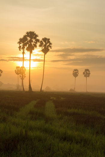 Sugar palm sunset in Thailand Plant Sunset Tree Sky Beauty In Nature Scenics - Nature Field Land Grass Tranquility Tranquil Scene Environment Growth Landscape Nature Orange Color Sun Non-urban Scene Cloud - Sky Idyllic Outdoors No People