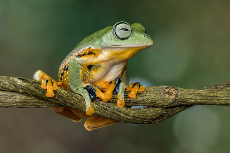 Wallace flying frog in branch