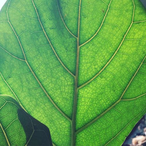 Green Color Green Greenpattern Pflanze  Grünesblatt Nature Leave Greenleave Leaf Outdoors Beauty In Nature GreenNature GreenNature Verde Freshness Zellen Zellen Blattdetail Grün