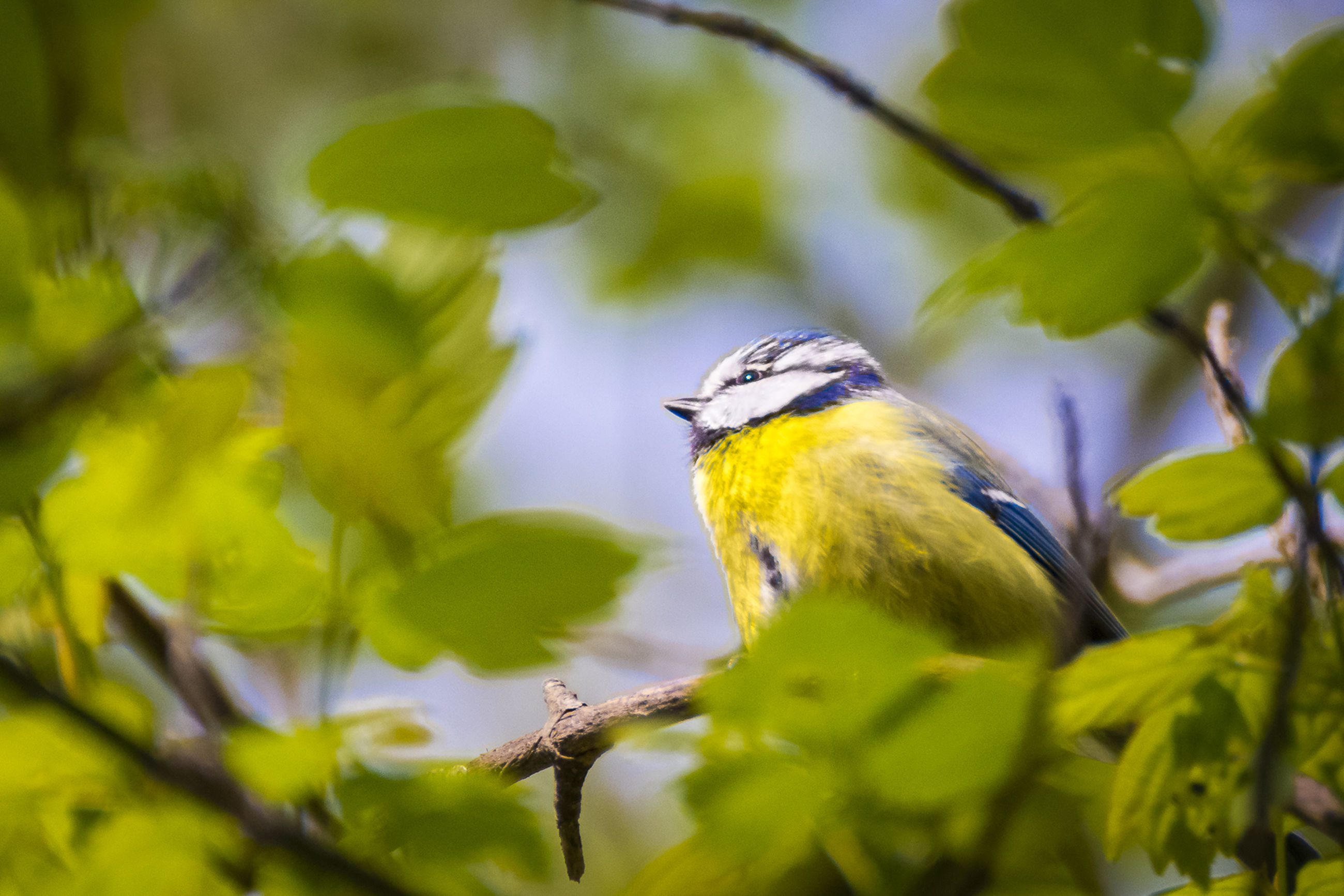 animal themes, one animal, animals in the wild, wildlife, bird, branch, perching, tree, focus on foreground, leaf, nature, close-up, selective focus, full length, yellow, low angle view, day, outdoors, side view, beauty in nature