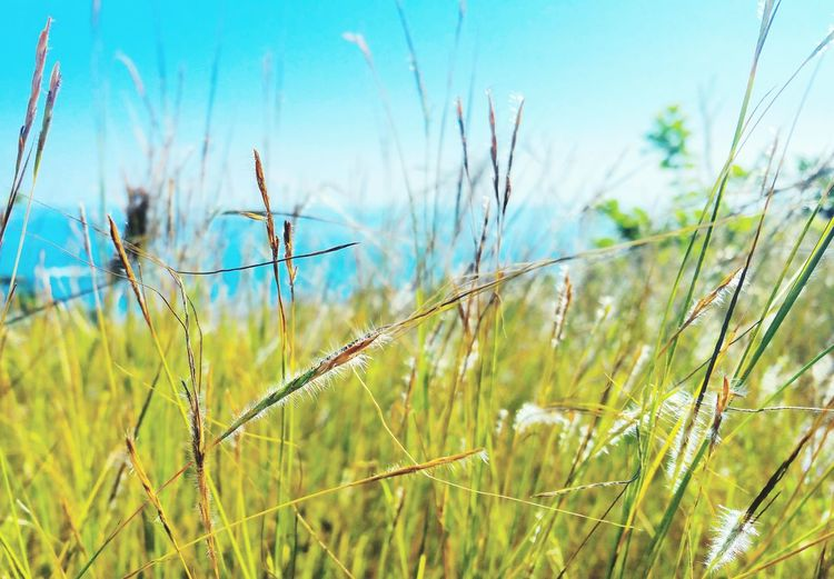 Lost Rural Scene Sky Grass Close-up Plant Reed - Grass Family Rice Paddy Agricultural Field Asian Style Conical Hat Cereal Plant Plantation Farmland Cattail Marsh Ear Of Wheat Lush - Description Cultivated Land Terraced Field Barley Wheat Corn - Crop