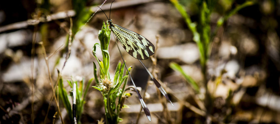 Nemoptera bipennis. Duende Animal Themes Beauty In Nature Bichos Close-up Day Flower Flower Head Focus On Foreground Fragility Freshness Green Color Growth Insect Insecto Nature Nemoptera No People One Animal Outdoors Plant
