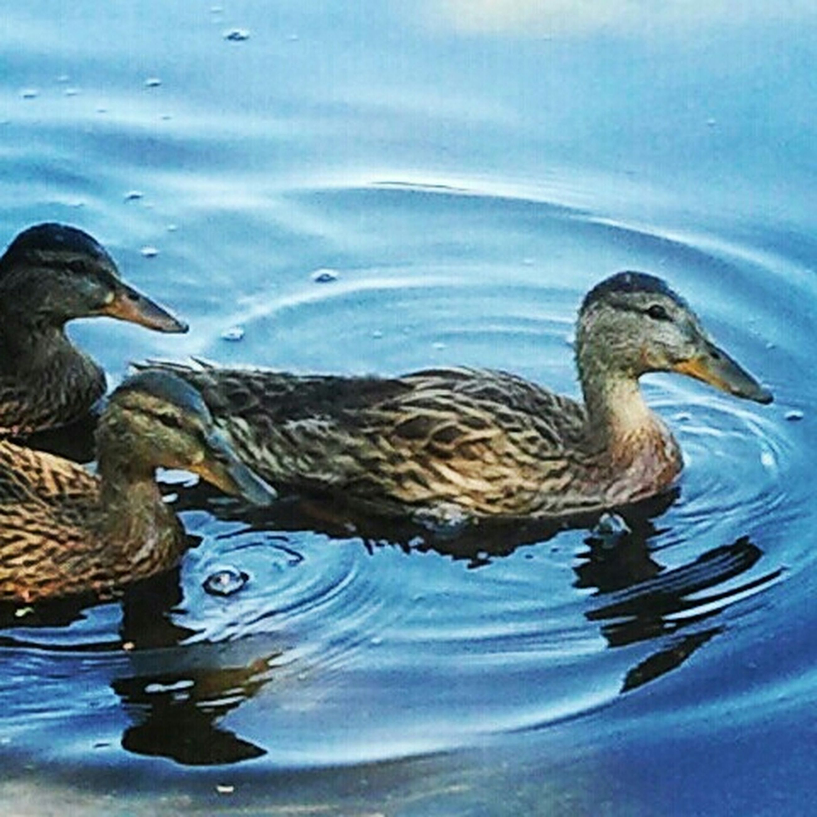 animal themes, bird, animals in the wild, water, wildlife, lake, reflection, waterfront, duck, swimming, nature, rippled, mallard duck, high angle view, outdoors, day, no people, water bird, two animals, beauty in nature