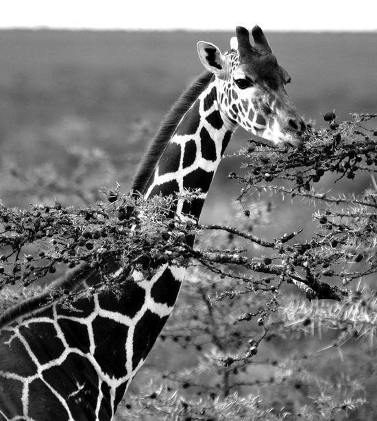 A grazing giraffe on the plains of Ol Pejeta Giraffe Grazing Grazinggiraffe Feedingtime Africananimals Wildlife Wildlifephotography Natgeotravel Natgeo Natgeotravelpic Bestoftheday EyeEm Best Shots EyeEm Nature Lover Blackandwhite Whiteandblack Amazinganimals Africananimal Africanwildlife Lucky Canonphotography Canon60d