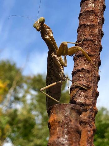 A Mantis Perching on a Reinforcing Steel Bar, Seeming to Glare This Way. (181107-181201) Tree Plant Animals In The Wild Low Angle View Animal Animal Themes Animal Wildlife One Animal Perching Nature Sky Day Outdoors No People Focus On Foreground