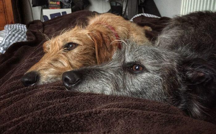 Leo n Lola I Love My Dog Lurcher Sighthound LEO... The One Eyed Lurcher... Lil Lola Leo N Lola I Love My Dog ❤ Animal Photography Animal Portrait Hanging Out