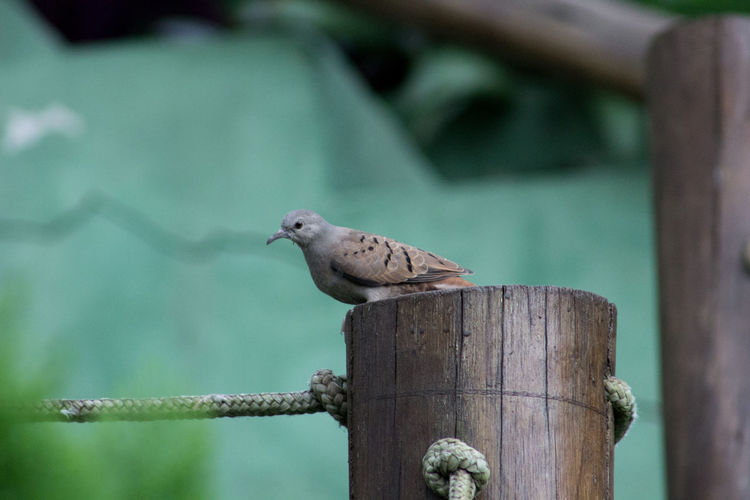 Mourning dove perching on wooden post