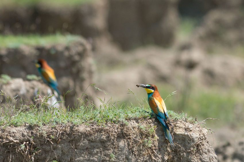 Beak Birdwatching Breeding Couple European  Exotic Freedom Green Color Love Mating Merops Apiaster Ritual Vivid Animal Wildlife Bee Eater Biodiversity Bird Colorful Environment Fauna Nature Ornithology  Pair Tropical Wild