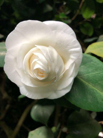 Flower Flowering Plant Beauty In Nature Plant Petal Inflorescence Freshness