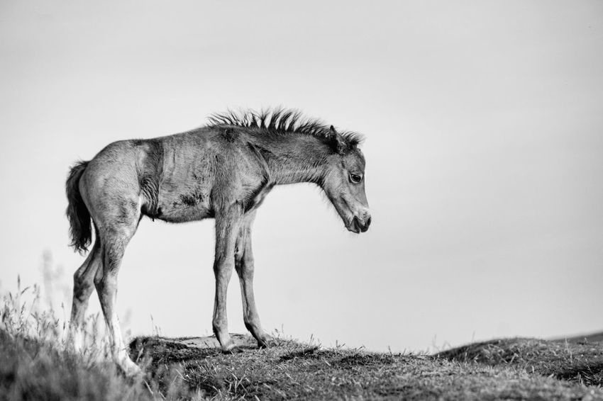 Horse Horses Horse Life Skinny Horse Hungry Foal Blackandwhite Black And White Photography Wildlife Photography Wildlife & Nature Wildlife_shots Wales❤