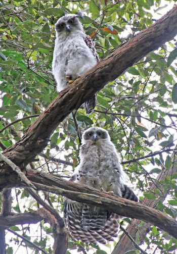 Powerful Owl chicks 😃. The largest Owl in Australia. They are a threatened species, so to see them so close to the track is a delight. This was taken last year and I hear they have returned! The work teams are doing to restore habitat for native flora and fauna at Glenrock is paying off. Bird Animal Themes Tree Perching Branch Animals In The Wild Animal Wildlife Bird Of Prey Owl Low Angle View No People Nature Day Outdoors Powerful Owl Newcastle NSW, Australia Cool Chicks Inquisitive Animals Australian Bush Littoral Rainforest