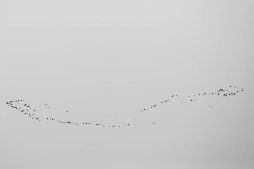 flock of birds Animal Animal Migration Animal Themes Animal Wildlife Animals In The Wild Beauty In Nature Bird Copy Space Flock Of Birds Flying Group Of Animals Large Group Of Animals Low Angle View Nature