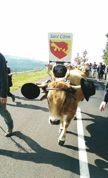 Cows Vaches Aubrac Transhumance Mai2015 Amis  Chapeau Tradition Saison Cloche Decoration