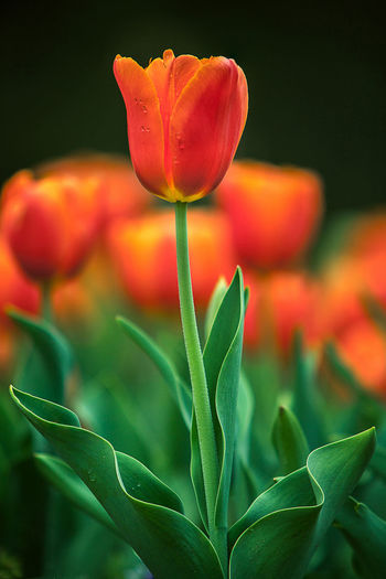 Close-up of orange tulip blooming outdoors
