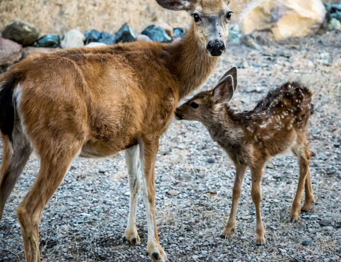 Mama You Smell! Animal Animal Themes Baby Bestoftheday Brown Check This Out Cute Day Deer Domestic Animals EyeEm Gallery Family Focus On Foreground Ground Mammal Nature No People Outdoors Portrait Selective Focus Wildlife Young Animal