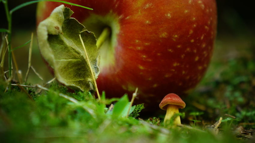 Apple Beauty In Nature Close-up Day Focus On Foreground Fragility Freshness Fruit Green Green Color Growth Moss Mushroom Nature No People Plant Red Red Color Selective Focus Toadstool Tranquility Uncultivated Vibrant Color