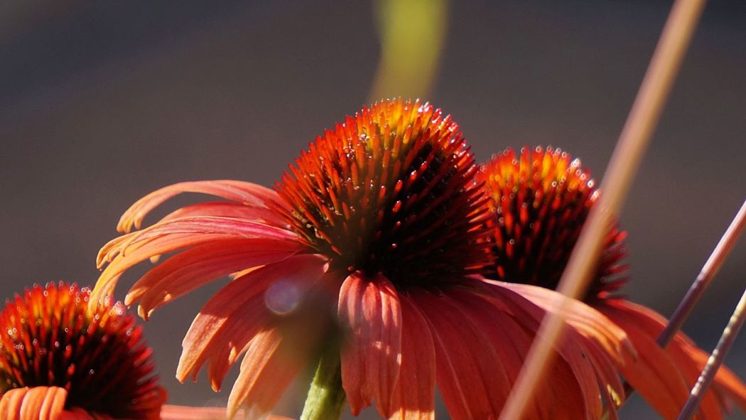 Sonnenhut 🍃 Echinacea Nature Photography Flowers,Plants & Garden Garden Photography Red Freshness Fragility Close-up Macro Colours Of Nature Beauty In Nature Pollen Stamen Flower Head Colourful Blütenzauber Amazing Nature