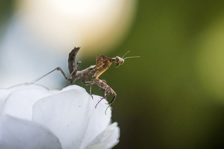mantis above flowers Insect Invertebrate Animal Themes Animal Wildlife Animal One Animal Animals In The Wild Close-up Selective Focus Plant Nature Fragility Vulnerability  Flower Day No People Zoology Growth Flowering Plant Beauty In Nature Flower Head Pollination