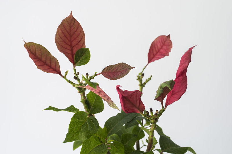 Close-up of red leaves against white background