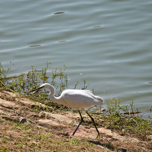 Bird Water Lake No People Outdoors Day Beautiful Bird Photography Colorsofnature Nikonphotography Nofilter Nikon Morning Nature Beauty In Nature Zerofilter India Bangalore Green Bengaluru Egret Birds Little Egret Little Egret Walking Whitebird