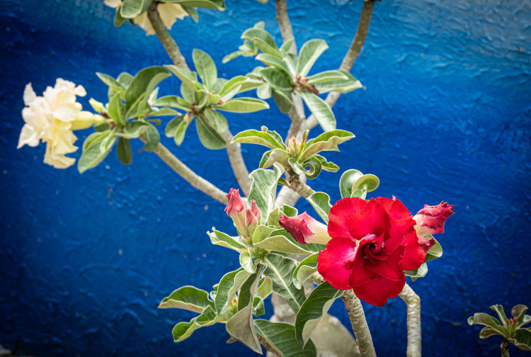 Close-up of red flowering plant against blue wall
