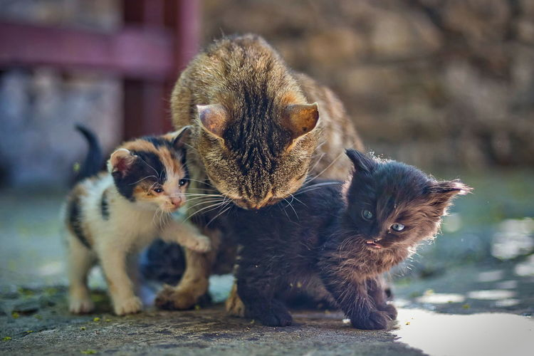 Animal Animal Family Animal Themes Cat Close-up Day Domestic Domestic Animals Feline Focus On Foreground Group Of Animals Kitten Mammal Nature No People Pets Three Animals Togetherness Vertebrate Whisker Young Animal